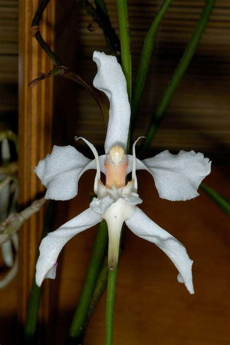 Amesiella Bag T2532g2 1 9285 best images about orquideas on white orchids orchids and orchid flowers