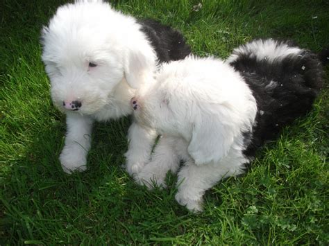 sheep puppies sheep puppies swadlincote derbyshire pets4homes