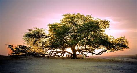 tree  life bahrain photo  faisal ansari