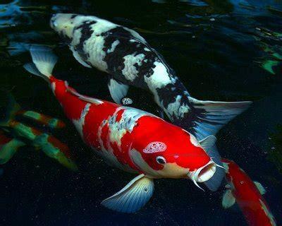 Cermin Aquarium adiwanang mengenali ikan hiasan