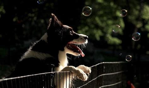 great ways  stop  dog  jumping  fence dogs