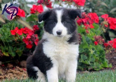 border doodle puppies for sale australia 25 best ideas about border collie poodle mix on