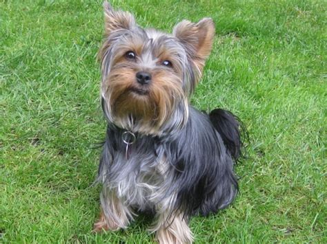 luxating patella in yorkies terrier hunderasse y hundeseite de