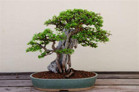 vasi da bonsai come scegliere i bonsai la tipologia pollicegreen