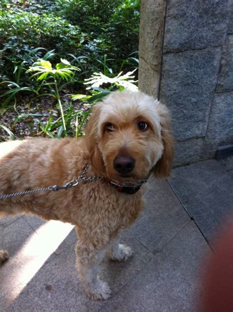 goldendoodle puppy nj anyone own a goldendoodle puppy hackettstown nj