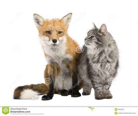 is a fox a or cat a fox and a cat stock images image 6610504