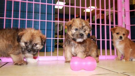yorkie rescue atlanta puppy for sale atlanta photo