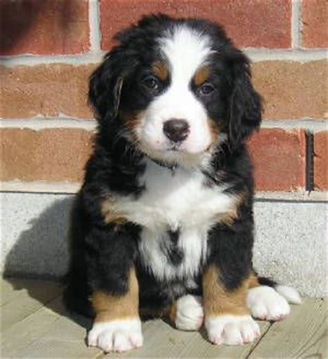 labernese puppies pin by elaine roy jones on pets