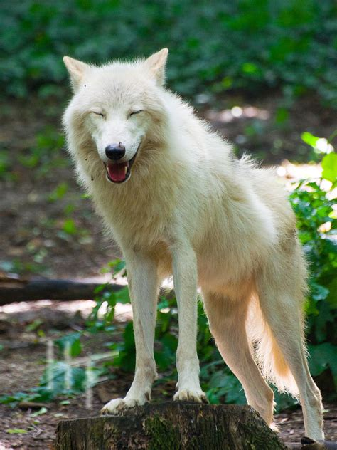 Smiling Wolf the smiling wolf by charliechappy on deviantart