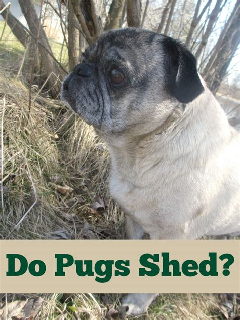 how to keep pugs from shedding do pugs shed emily reviews