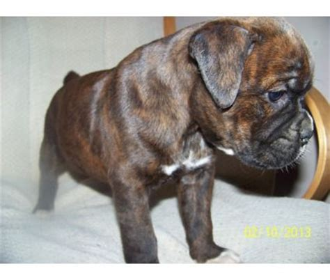 boxer puppies for sale in washington 25 best ideas about boxers on boxers laila ali boxing and