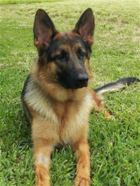 dogs for sale trained dogs for sale dogforce1 richard heinz miami trainer home of the