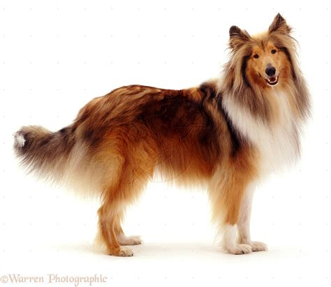 collie breed collie breed history and some interesting facts