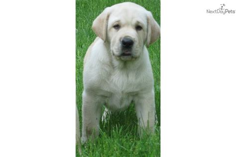 lab puppies for sale in wv labrador retriever puppy for sale near northern panhandle west virginia 274fc907 0041