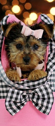 baby yorkies for sale in florida newborn baby puppies for sale puppies for sale yorkies for sale yorky breeder