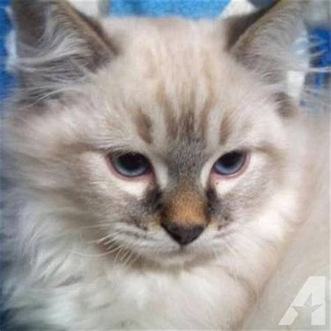 ragdoll kittens for adoption pin kitten moving his cat kittens grumpy