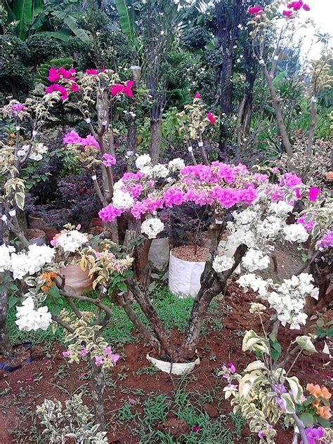 jual pohon bougenville bougenville bonsai pohon bunga
