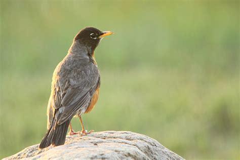 alberta birds archives birds calgary