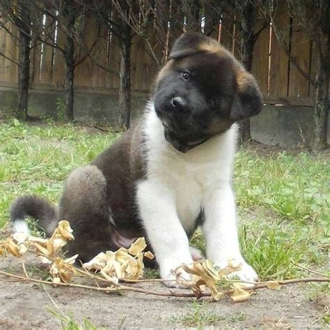 how much are akita puppies 255 best akita s images on