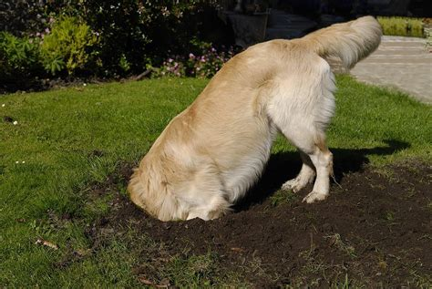 how to keep dogs from digging how to keep a from digging