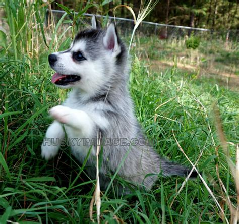 klee puppy alaskan klee puppies for sale husky palace