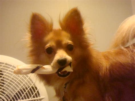 papillon and pomeranian paperanian pictures and photos papillon pomeranian hybrid dogs breeds picture