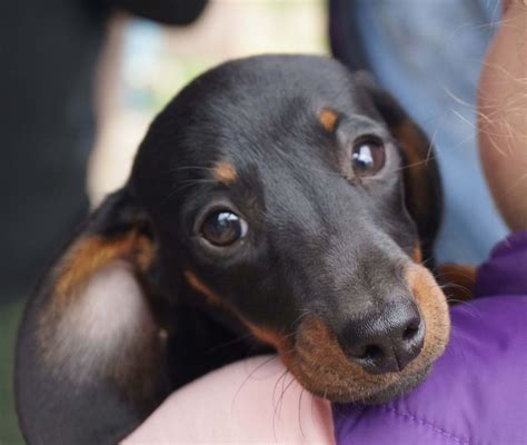 miniature dachshund puppies for sale in nc teacup dachshund puppies for sale in nc breeds picture