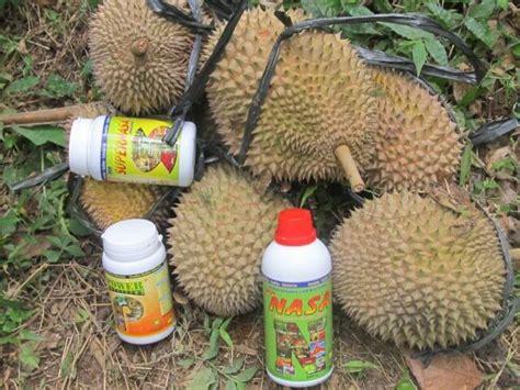 Nature Stek Durian cara menanam durian montong agar cepat berbuah