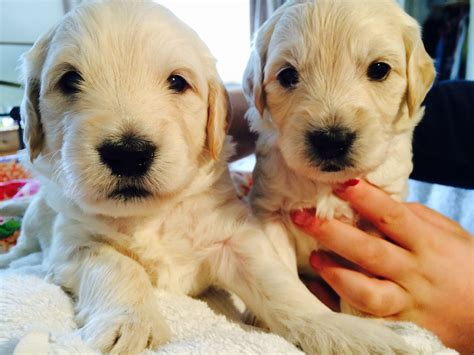 goldendoodle puppies for sale in kent beautiful f1 miniature goldendoodle puppies tenterden
