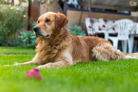 how to keep dogs lawn tips on how to keep a lawn looking for owners pets4homes