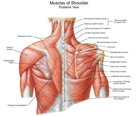 diagram of back muscles muscles of shoulder