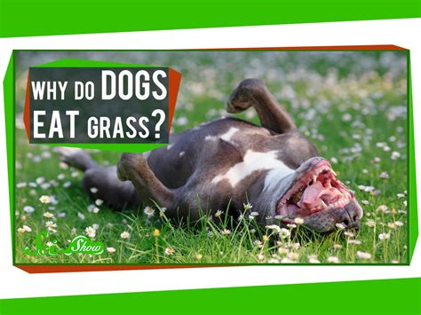 what do puppies eat why do dogs eat grass