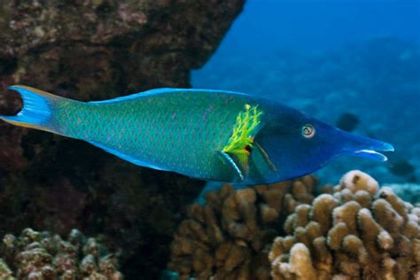 image gomphosus caeruleus blue green bird wrasse bird wrasse gomphosus varius fish profile