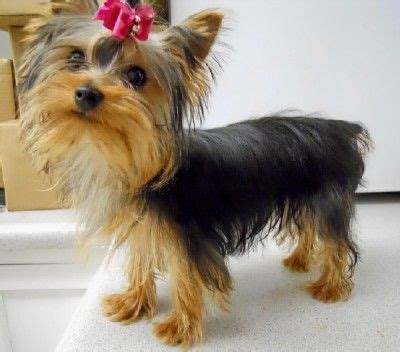 yorkie puppies for sale in mo www yorkies missouri yorkie puppies for sale terrier puppy breeder mo