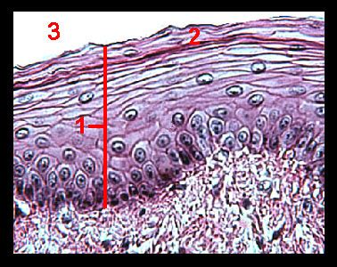 Cross Section Of Esophagus by Lab 2 Microscopy And The Study Of Tissues Zoo Lab Uw
