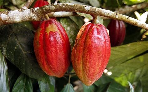 cocoa tree fruit pax on both houses compound in cocoa found to age