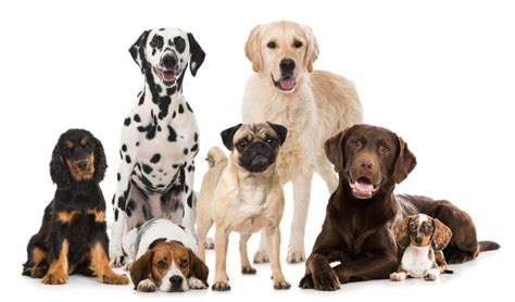 Best Dog Breeds For Families Pets4homes   best dog breeds for families pets4homes
