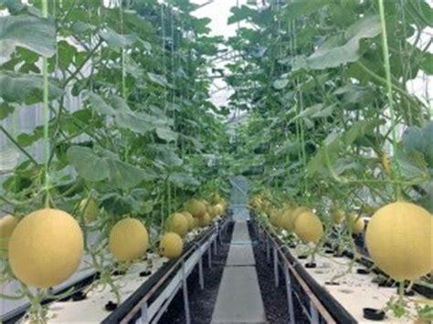 menanam cabe hidroponik nft budidaya melon sistem hidroponik akar menggantung cara