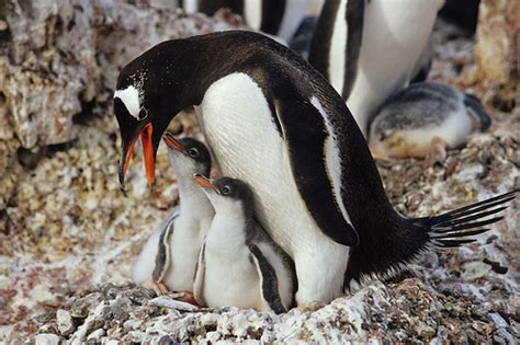 Gentoo Penguin with Chicks | Gentoo Penguins at the ...