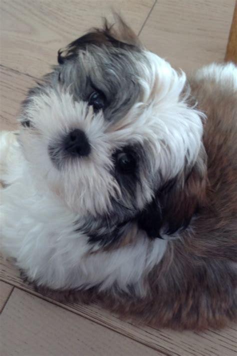 leo maltese terrier  shih tzu castellan house kennels