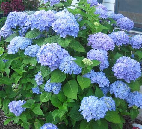 Tanaman Bunga Hortensia Blue Sky Tanaman Blue Mophead Hydrangea Bibitbunga