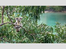 Koalas : simplebooklet.com Koalas Habitat And Diet