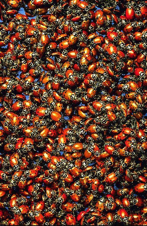 ladybugs  hibernation image