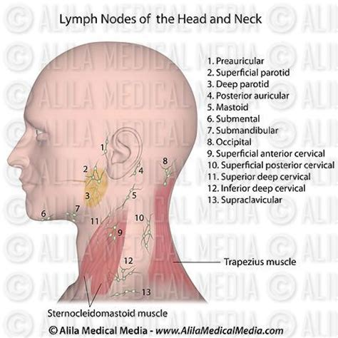 Pioneer Faucet Parts Lymph Nodes Head And Neck Lymph Nodes Of The Head And