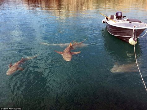 shark in boat picture shows saltwater crocodiles and lemon sharks
