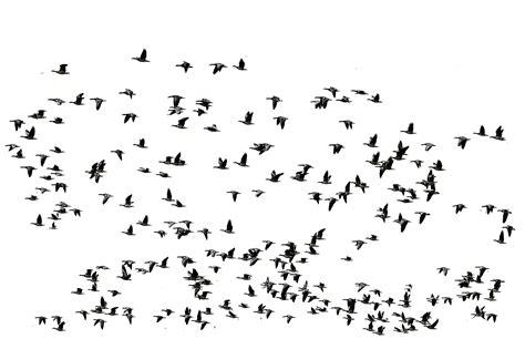 Dandelion Wall Art Stickers flying birds geese 2 by astoko on deviantart
