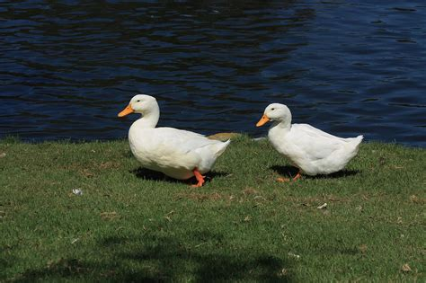 two white waddling ducks free stock photo public domain