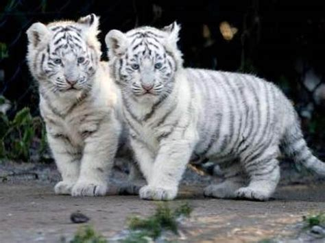 2013 Wallpapers: Baby White Tigers Wallpapers