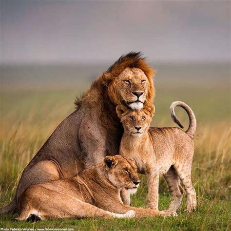 imagenes de la familia de animales los leones en peligro de extinsi 211 n animales salvajes y