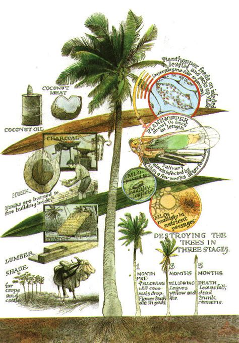 Uses Of The Coconut Palm by Coconut Palms In Belize Uses Of The Coconut